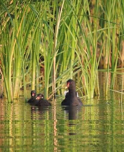 Moorhen Ducks in Monart Gardens; Blog