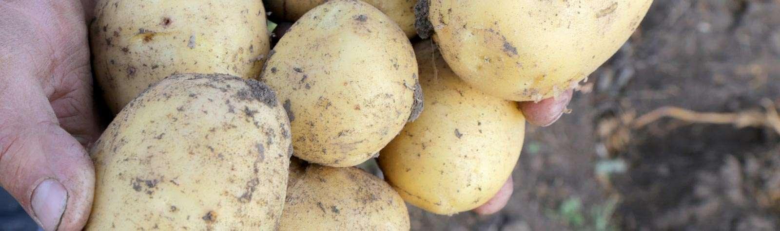 Fortunes Potatoes